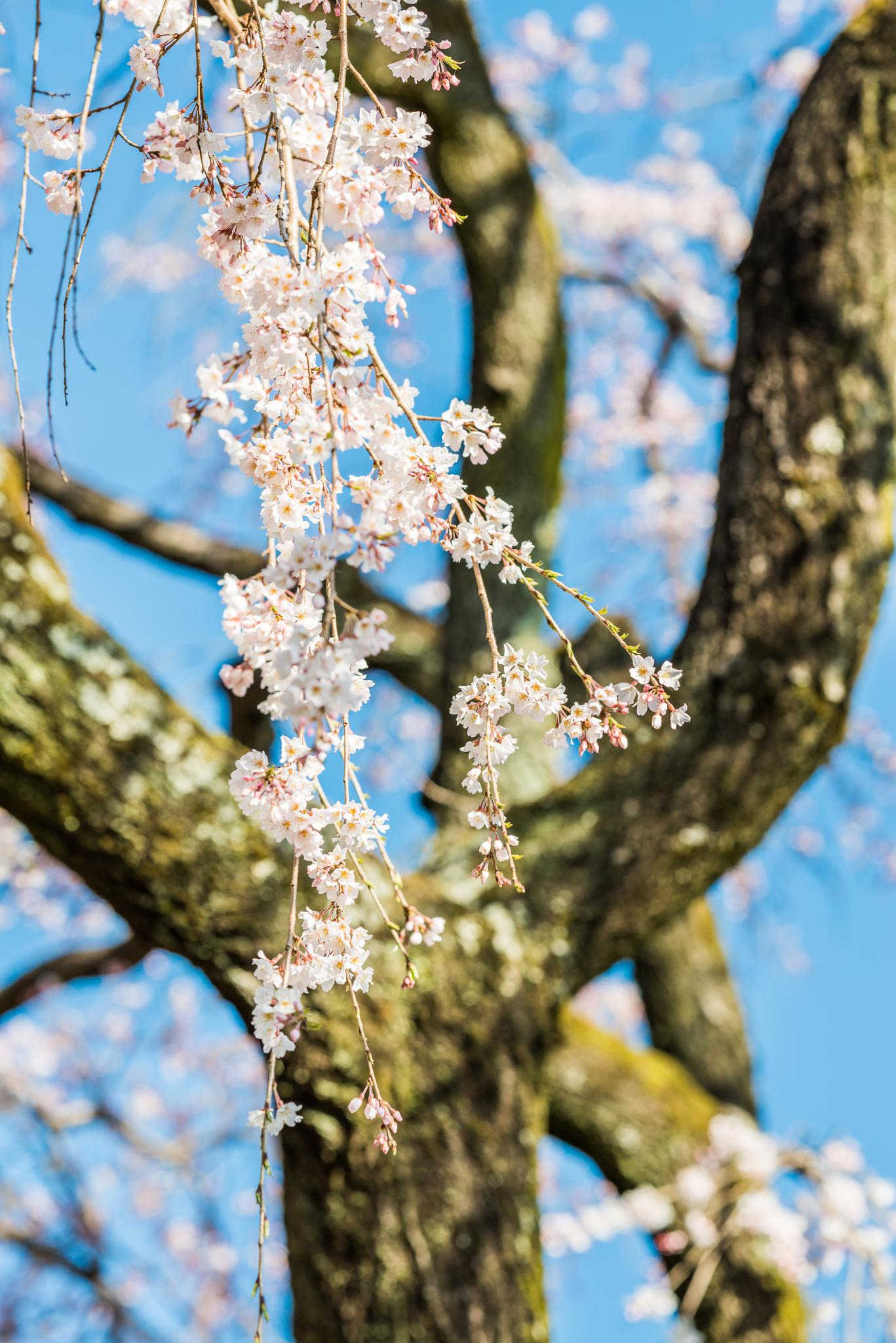 宝珠寺のしだれ桜-8