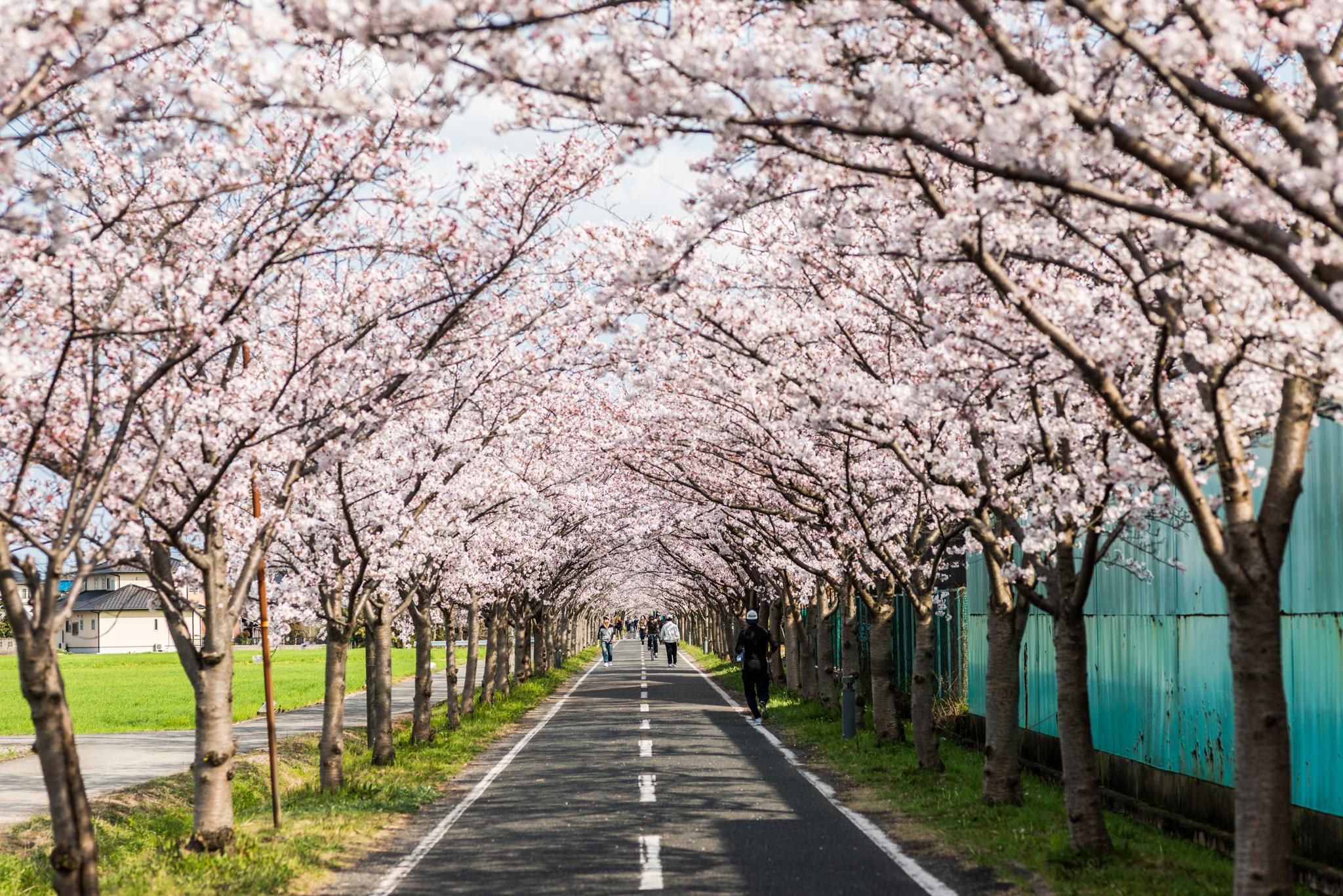 桜のトンネル-1