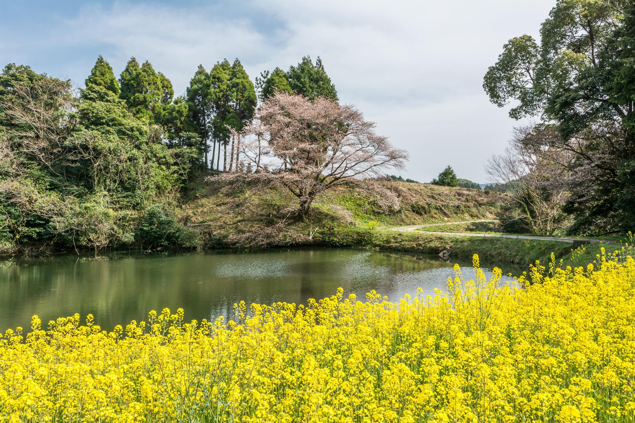 ジラカンス桜-2