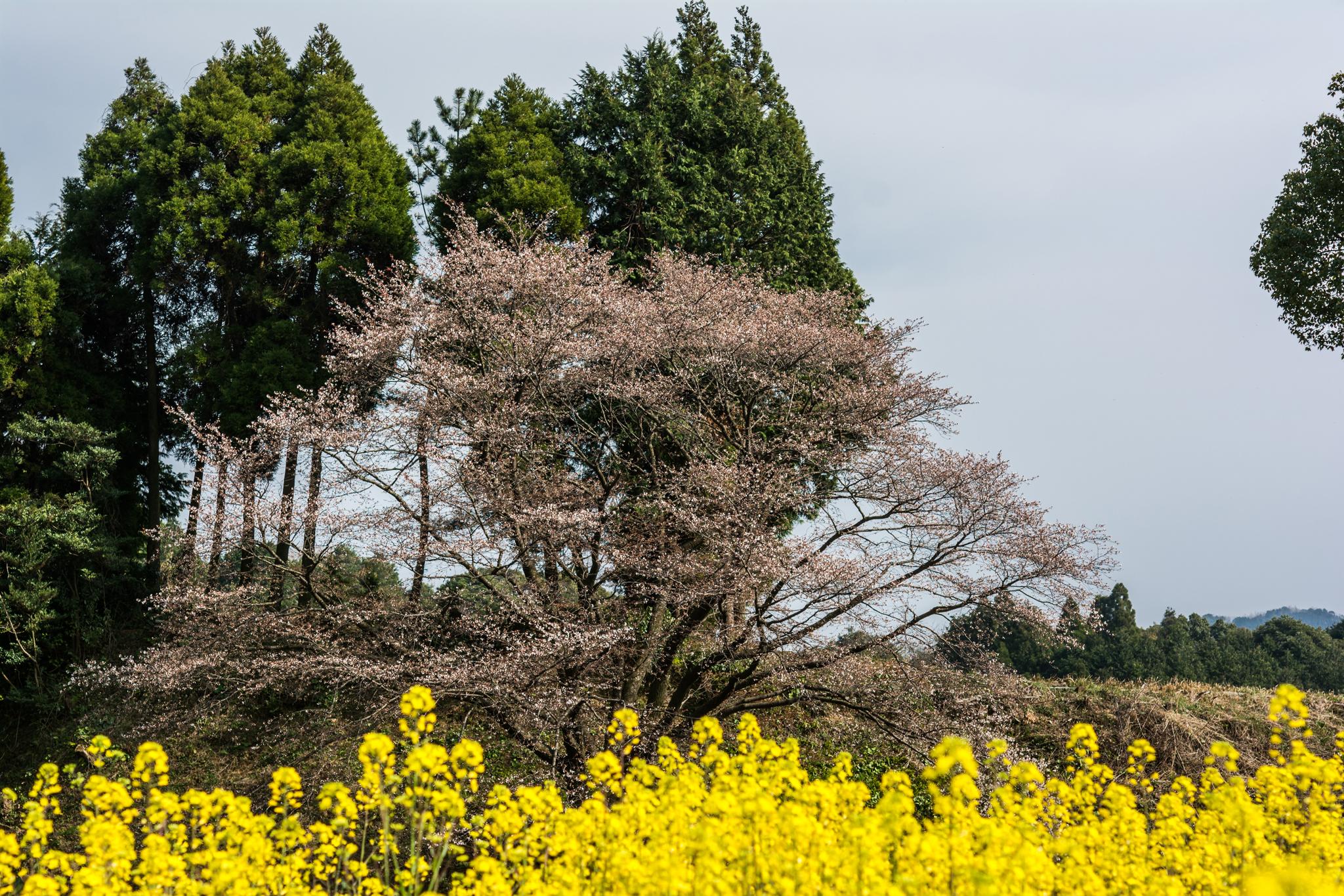 ジラカンス桜-5