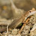 写真: ニホンカナヘビ
