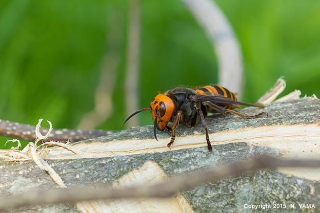 オオスズメバチ