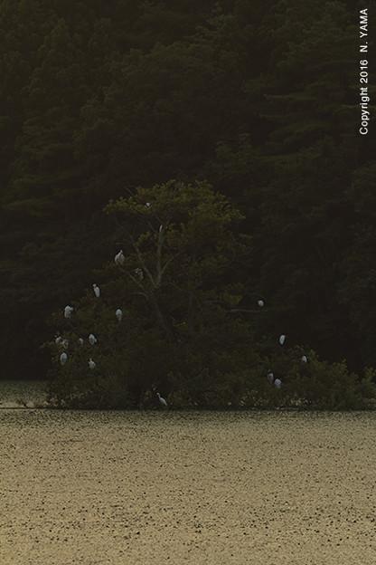 コサギの居る風景