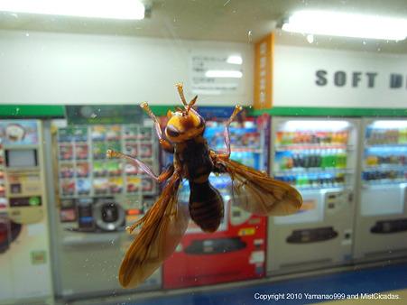 ハチモドキバエの一種