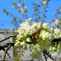 Photos: 六孫王神社のウコン桜