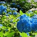 鮮やかな青の紫陽花