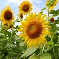 梅雨の向日葵