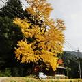Photos: 大銀杏
