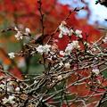 Photos: 西明寺の不断桜
