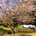 道端の四季桜