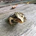 Photos: シャッとした顔のカエル