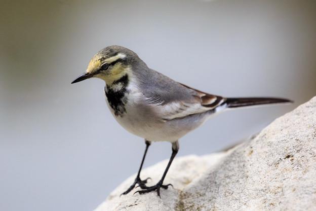 写真: ハクセキレイ・若鳥