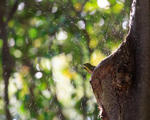 写真: メジロの噴水