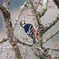 写真: オオアカゲラ ♀