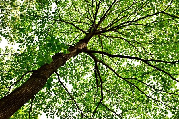 Photos: 新緑を見上げる4