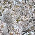 桜に埋もれた小鳥さん~