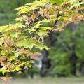 爽やかな紅葉の葉~