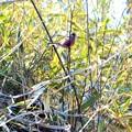 藪の中で戯れる小鳥さん