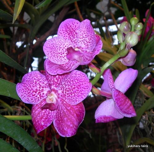 沖縄県の蘭の花
