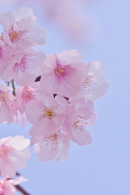 写真: 大寒桜
