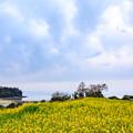 長崎鼻 菜の花フェスタ
