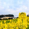長崎鼻 菜の花フェスタ 2