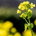 写真: 遠賀川河川敷 菜の花 2