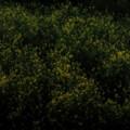 Photos: 菜の花幻想