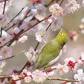 Japanese White-Eye and Japanes Apricot