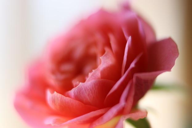 写真: 赤バラ