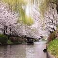 桜と柳と船。