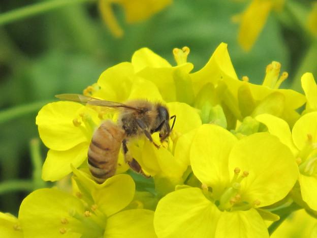 IMG_9041 菜の花とミツバチ