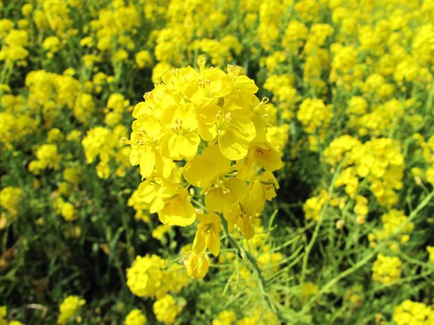IMG_9090 菜の花