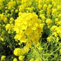 Photos: IMG_9090 菜の花