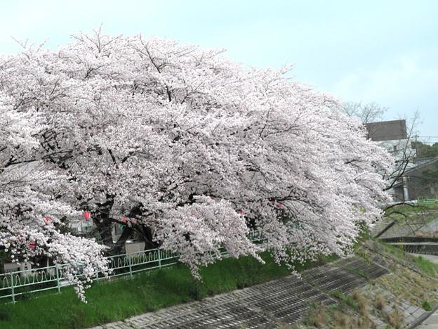 写真: IMG_9137 H27桜