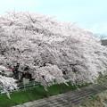 IMG_9137 H27桜