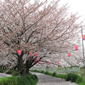 IMG_9140 H27桜