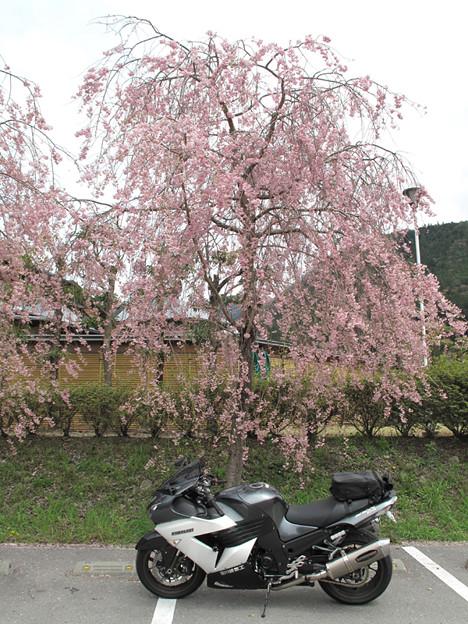 写真: IMG_9210 遠山郷しだれ桜
