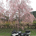 Photos: IMG_9210 遠山郷しだれ桜