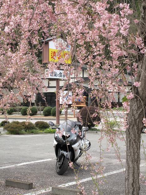 写真: IMG_9211 遠山郷しだれ桜