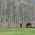 Photos: IMG_9305 白樺林と木曽駒