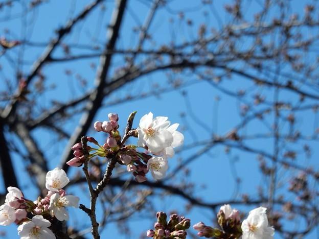 写真: DSCN1705 初桜