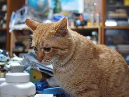 2009年03月07日の茶トラのボクチン(4歳)