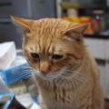 写真: 2009年03月07日の茶トラのボクチン(4歳)