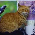 写真: 2012年03月07日の茶トラのボクチン(7歳)