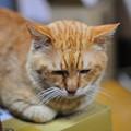 写真: 2011年03月09日の茶トラのボクチン(6歳)