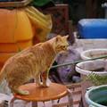 写真: 2011年03月14日の茶トラのボクチン(6歳)