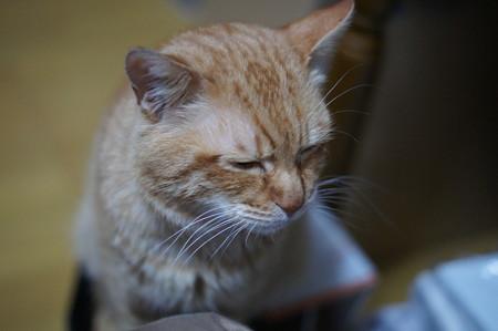 2011年03月18日の茶トラのボクチン(6歳)