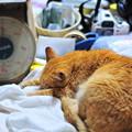 写真: 2011年05月27日の茶トラのボクチン(7歳)