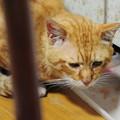 写真: 2010年06月03日の茶トラのボクチン(6歳)
